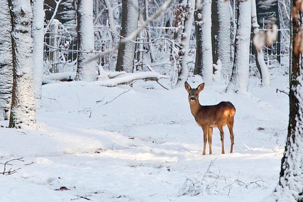 Reh im winterlichen Wald